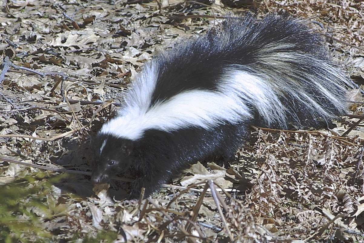 skunk-211-full.jpg